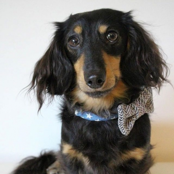 dog accessories, dog collar, handmade, denim, tweed, dog bow tie
