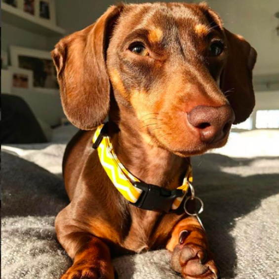 handmade, dog collar, lead, accessories, yellow, chevron